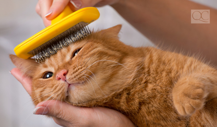 cat grooming to get rid of hair that will end up in home