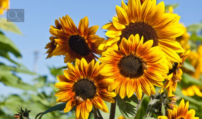 Sunflowers in field, outdoors during bright summer day.